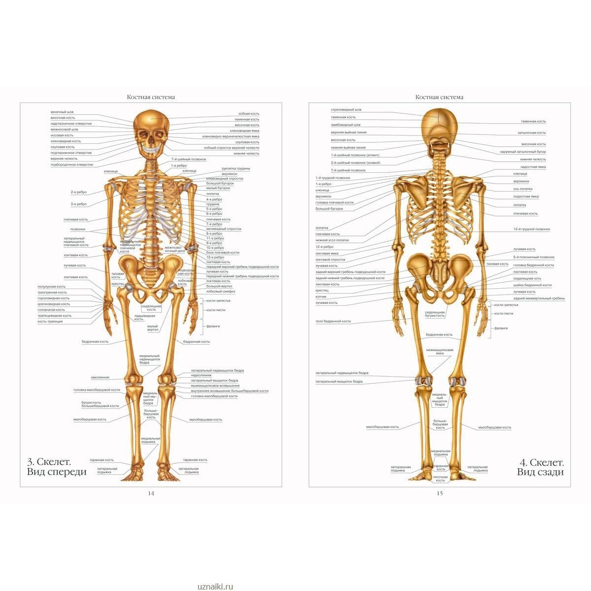 анатомия человека с фотографиями внутренних органов